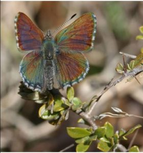 Close up of a bronze bathurst butterfly.