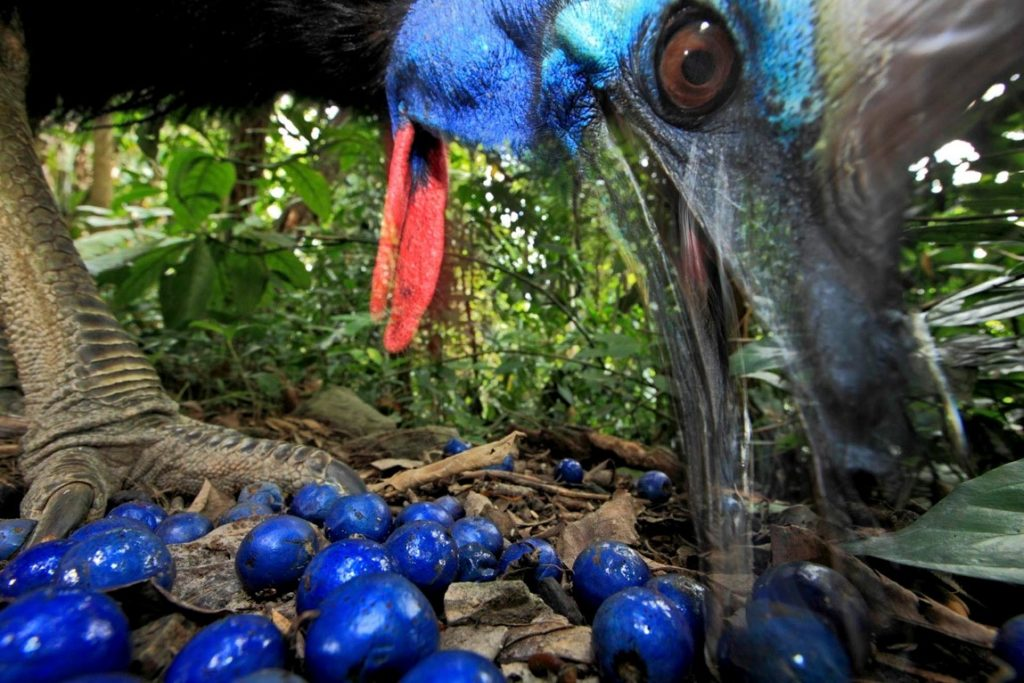 A cassowary eating cassowary tree fruit