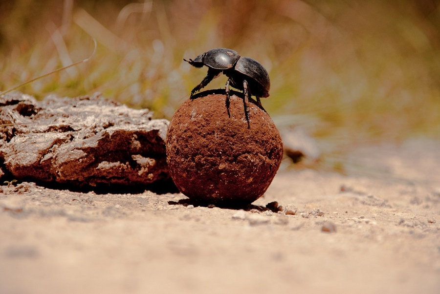 A dung beetle sitting on top of a ball of dung
