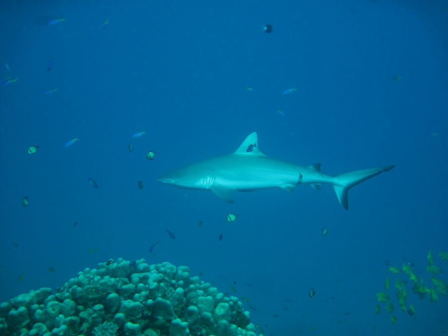 A grey reef shark swimming