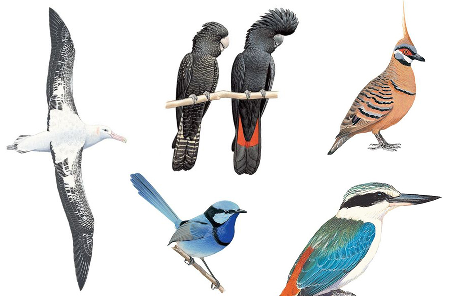 A collage of bird drawings from the Australian Bird Guide: Wandering albatross, female and male red-tailed black cockatoo, spinifex pigeon, red-backed kingfisher and splendid fairy wren.