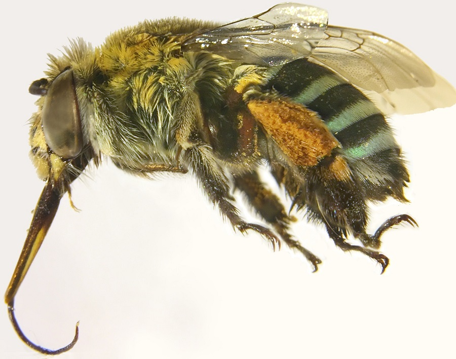Close up photo of a bee with blue and black bands on its abdomen and yellow pollen stuck to its legs.
