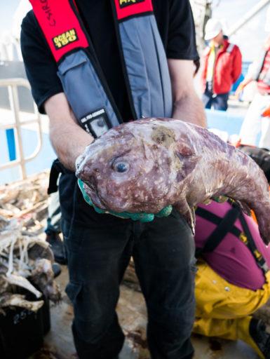 A blob fish onboard the Investigator research vessel
