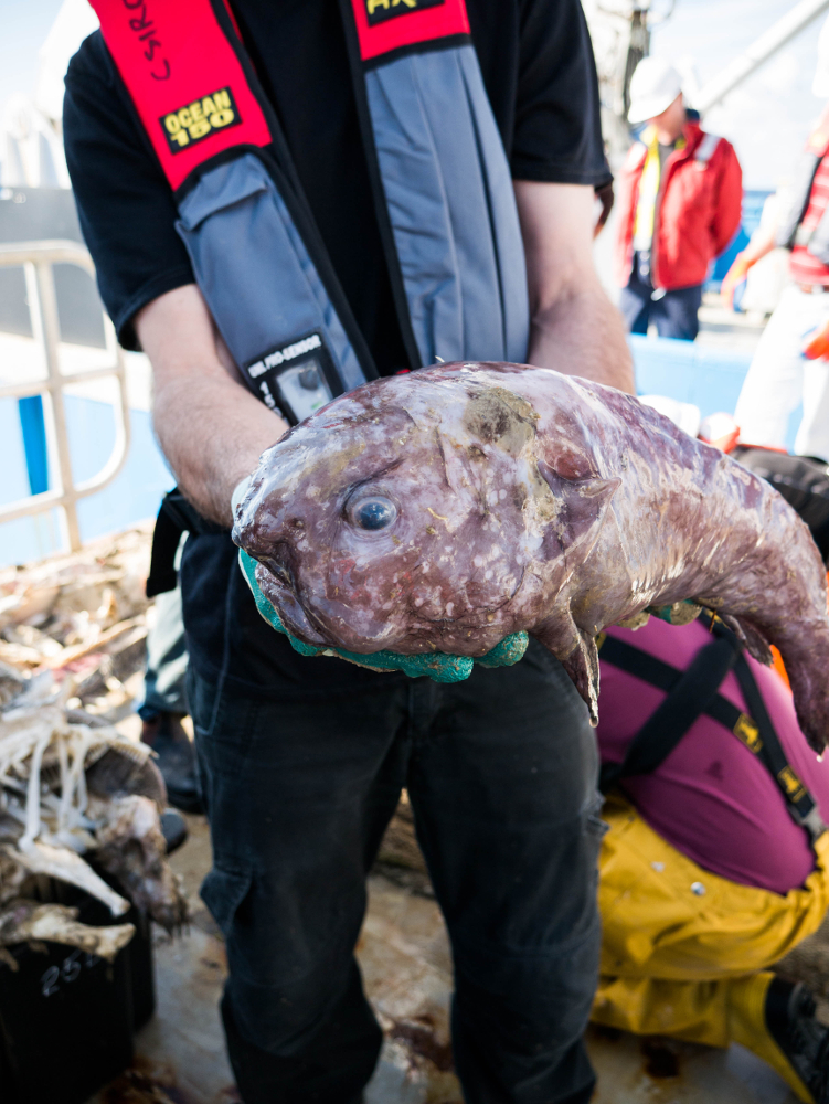 A blob fish onboard the Investigator research vessel