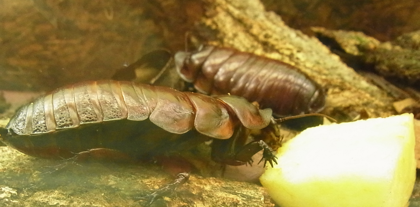 Two giant northern cockroaches