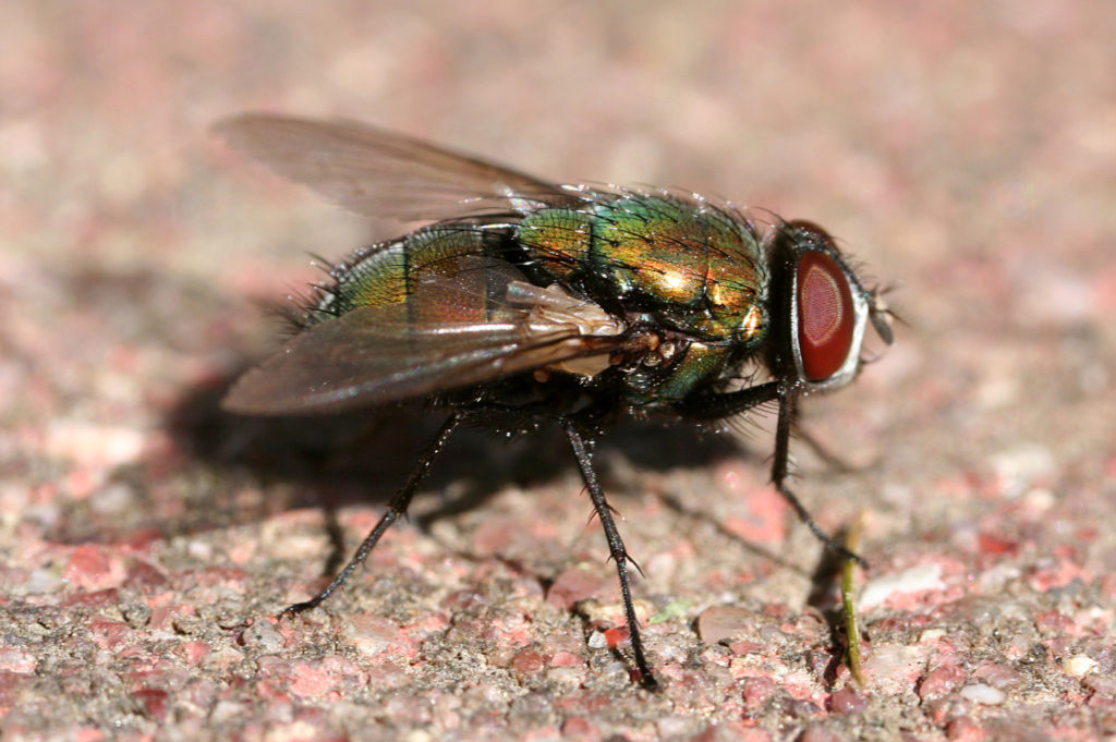 close up of a green bottle fly