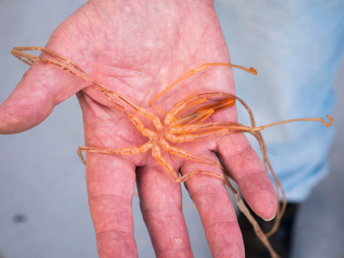 close-up of a hand holding a sea spider