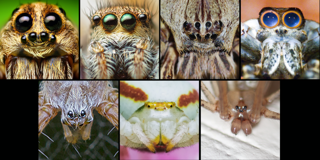 Various spider faces eye arrangement eye patterns