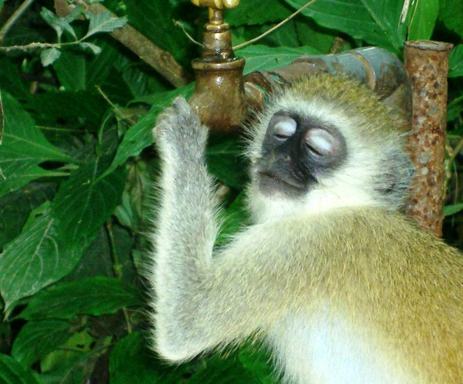 Vervet monkey holding on to a tap