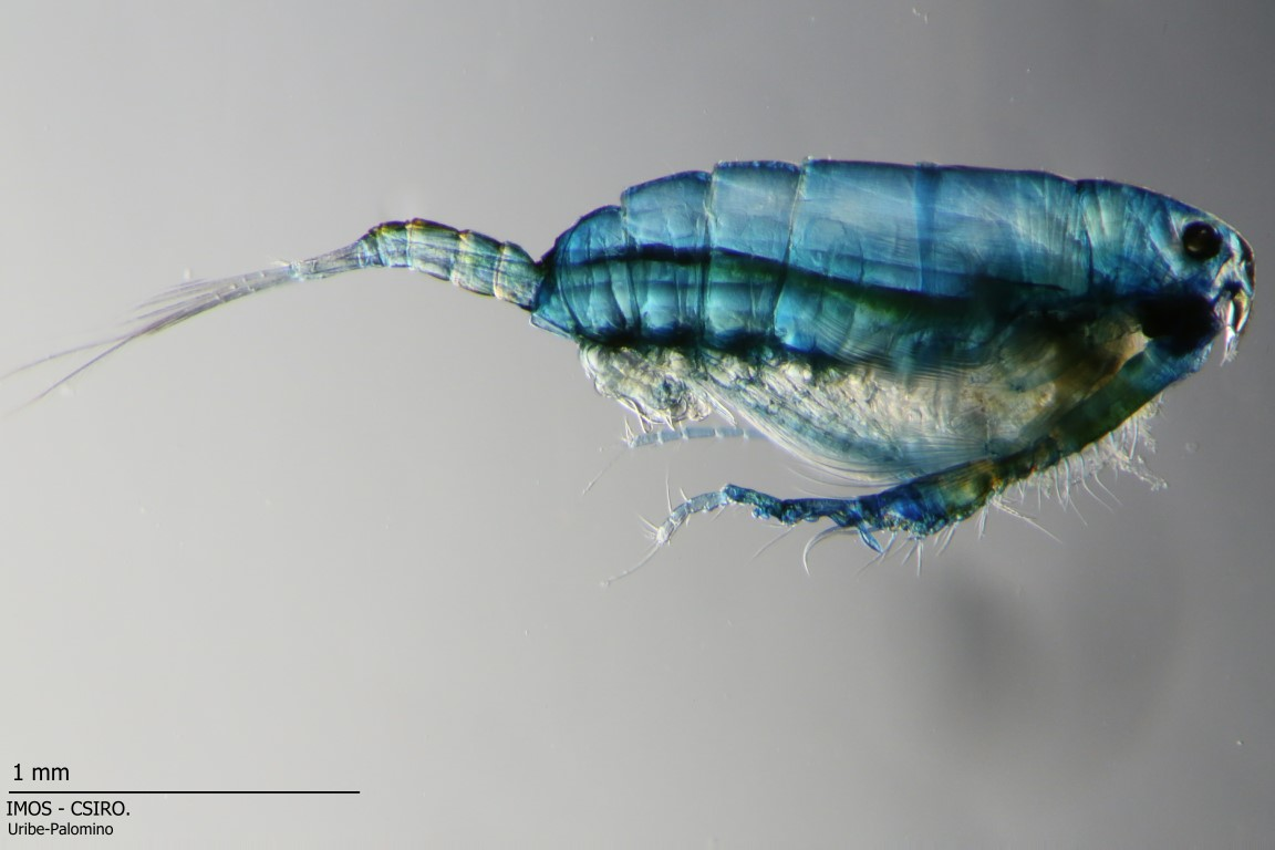 Zooplankton/Copepods are one of the multiple animal groups that make part of the Zooplankton. They are one of the most abundant organisms in the planet and they help to build different levels of the trophic web in aquatic ecosystems.