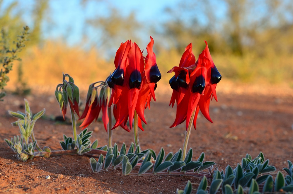 Swainsona formosa or Sturt's Desert Pea found near the MRO.