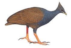 Drawing of an Orange-footed Scrubfowl