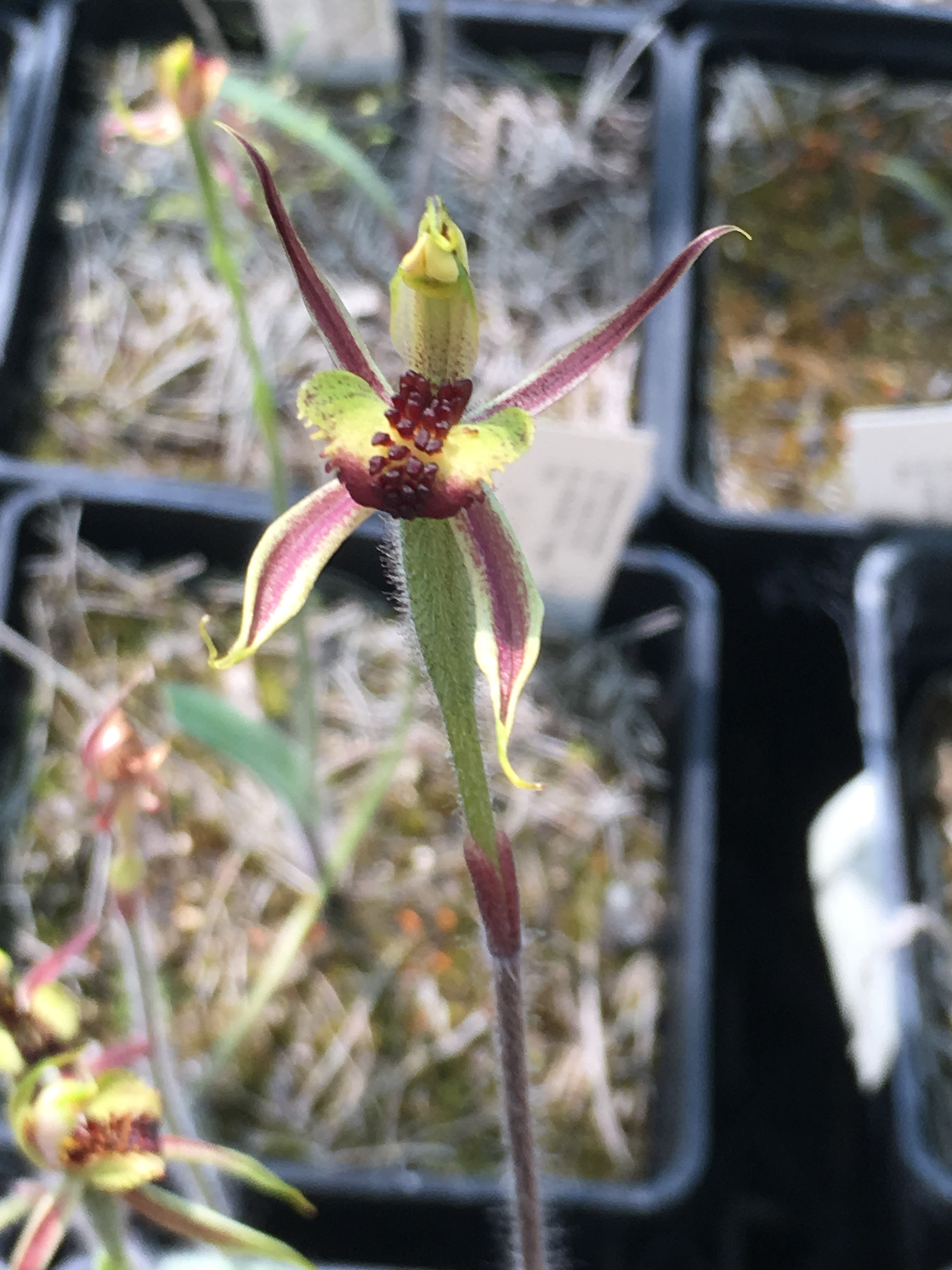 Flowering seeding of the orchid Caladenia actensis.