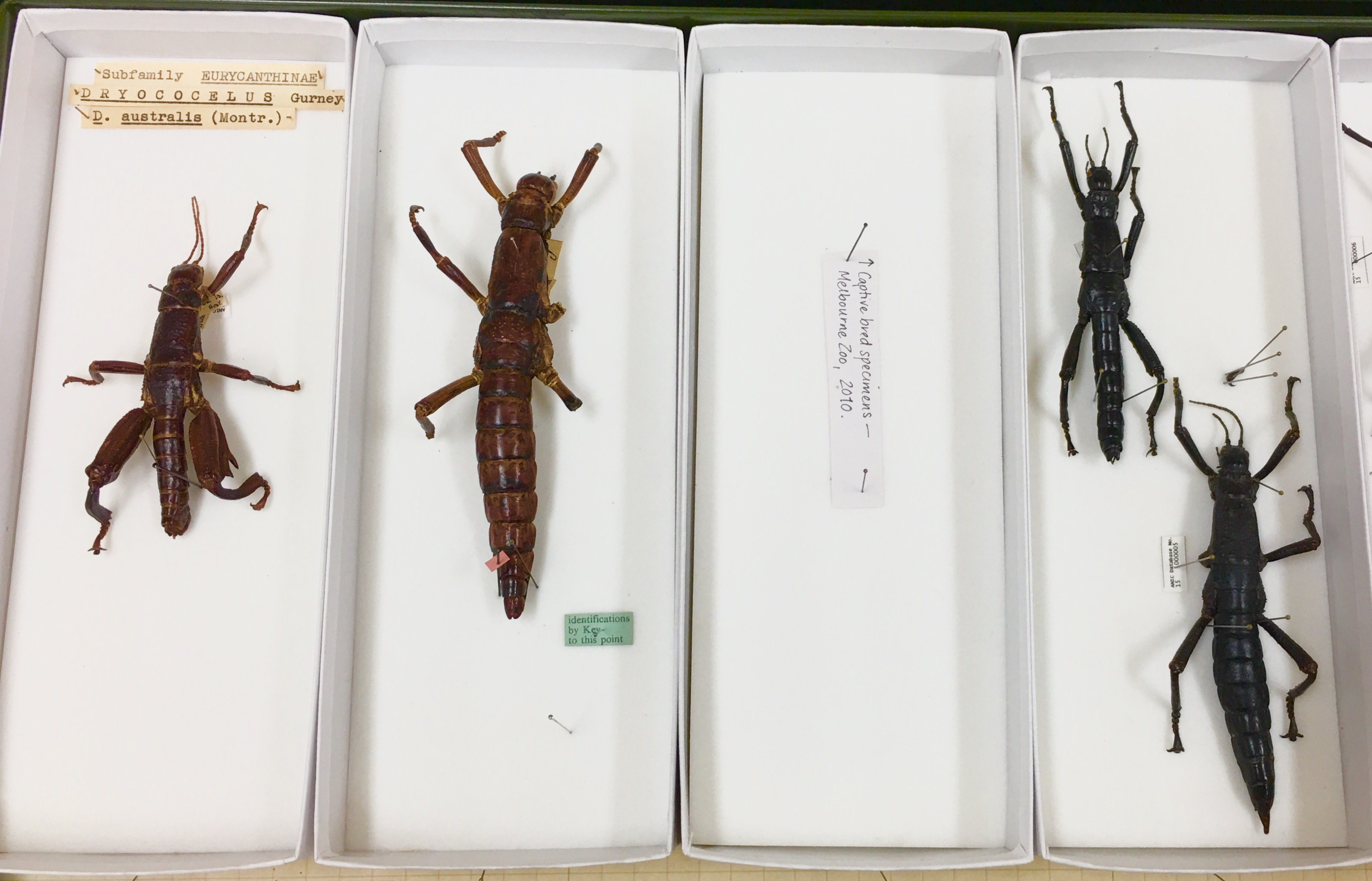 Dorsal view of pinned Lord Howe Island stick insect specimens showing differences in colour and shape.