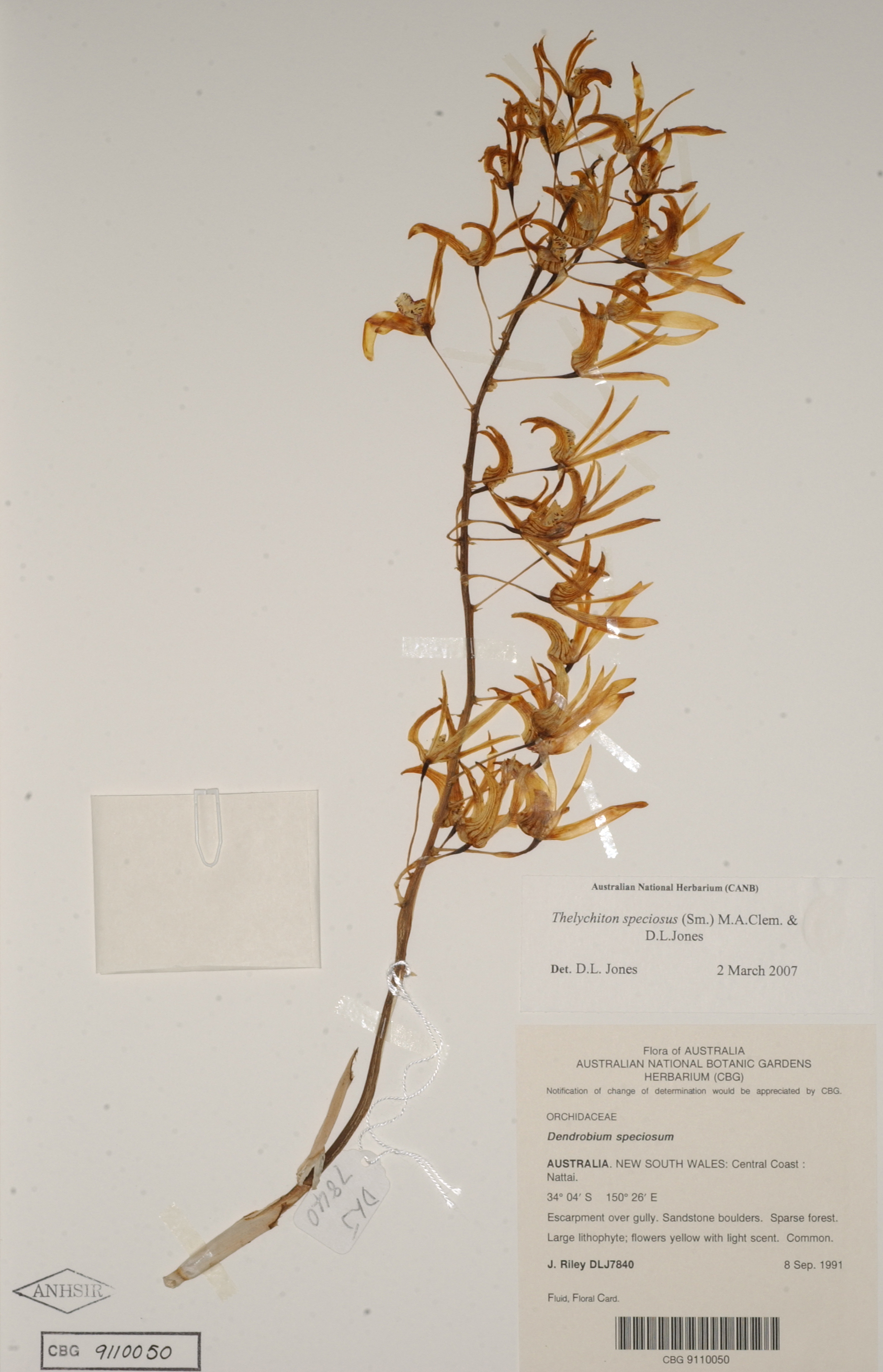 Flattened flowering stem of a rock orchid on a white sheet with typed specimen data label.