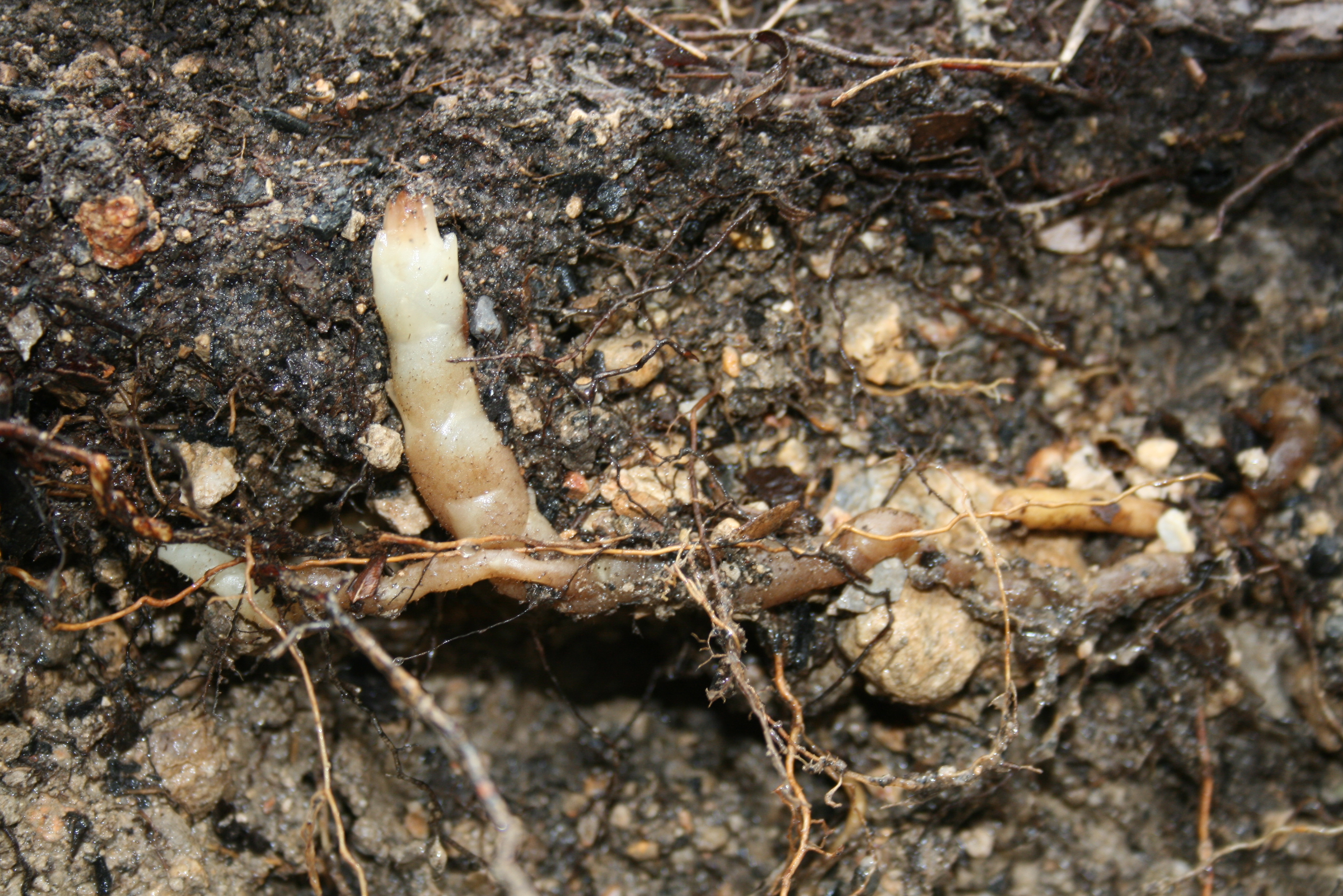Orchid growing within soil which looks like a small, pale root.