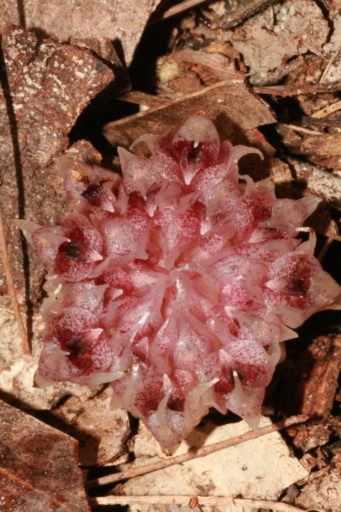 Pink speckled orchid flower head in leaf litter.