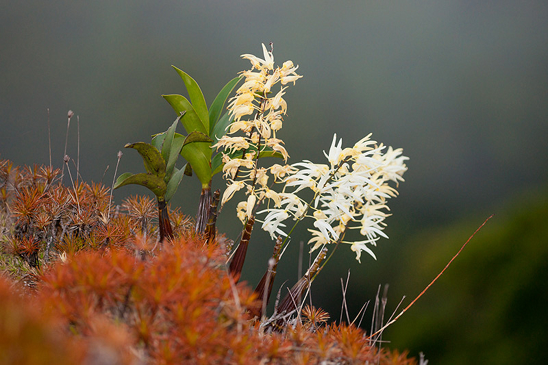 Several stems of white flowers of the rock orchid with small plants in the foreground.