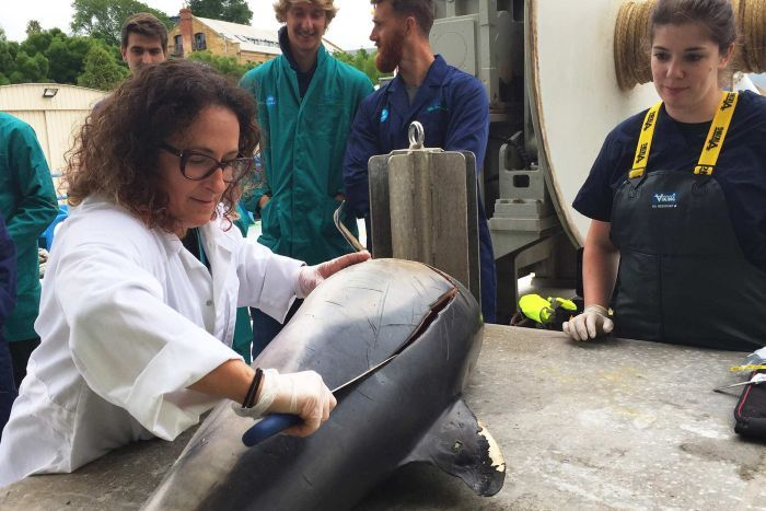 Dr Karen Evans cuts open on a common dolphin