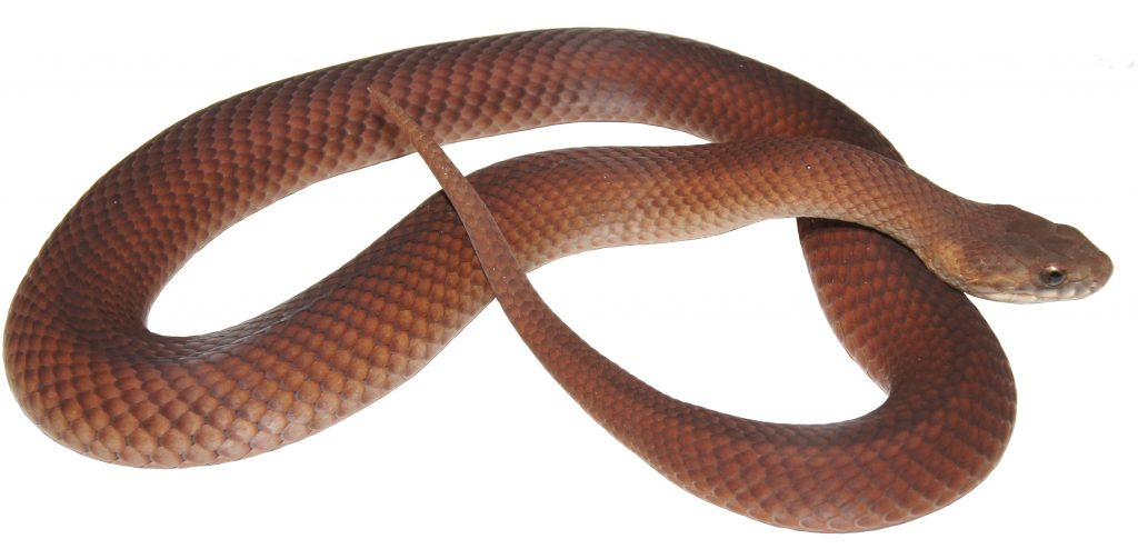 The Bardick snake