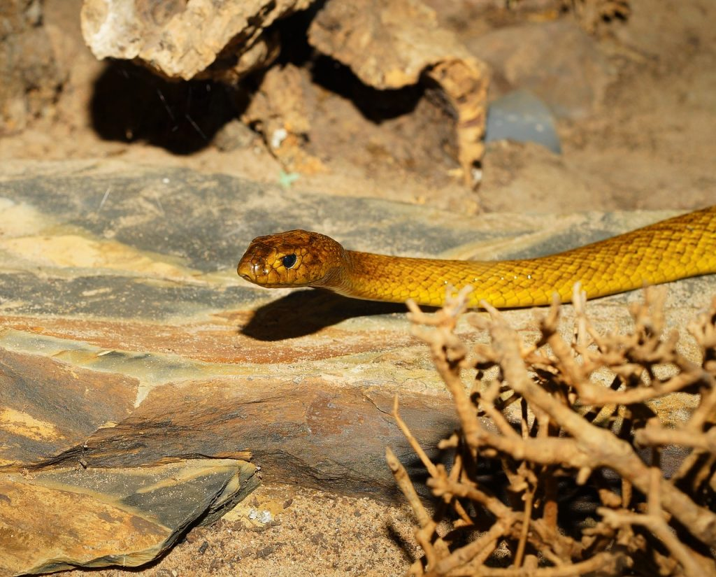 An inland taipan on rocks