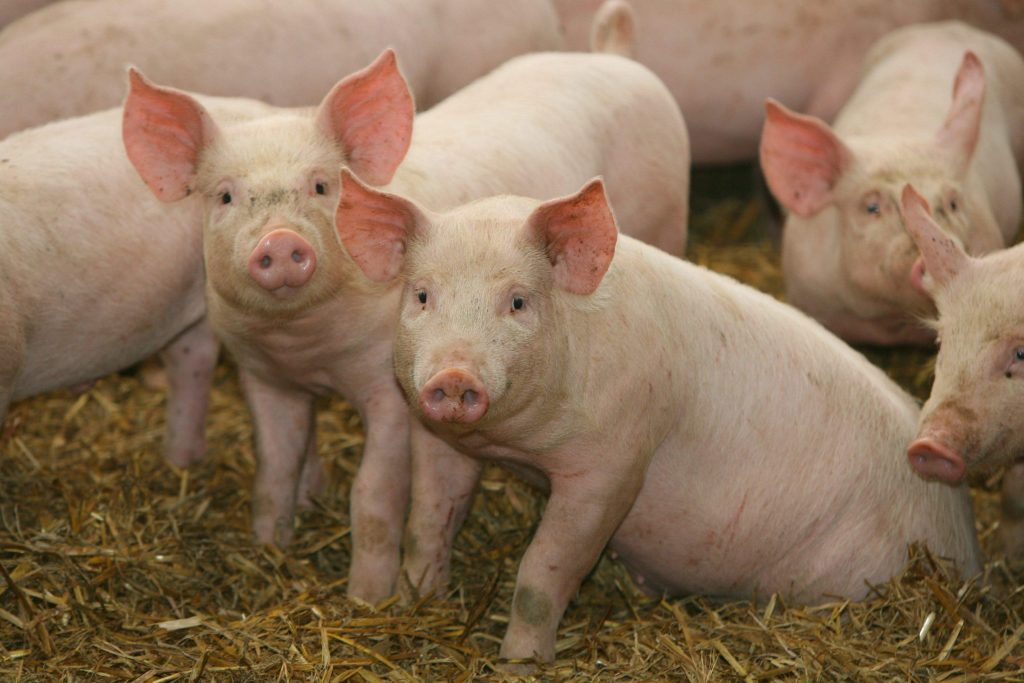 Two pigs looking directly into the camera, with other pigs around them.
