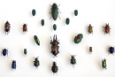 A collection of beetles for Questacon