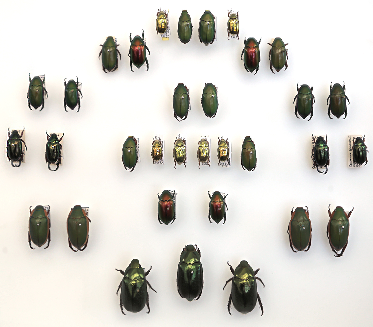 Australian Christmas Beetle.A Spectrum Of Our Insect Collection Takes Flight For