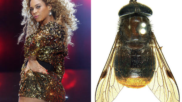 beyonce and the Plinthina beyonceae fly