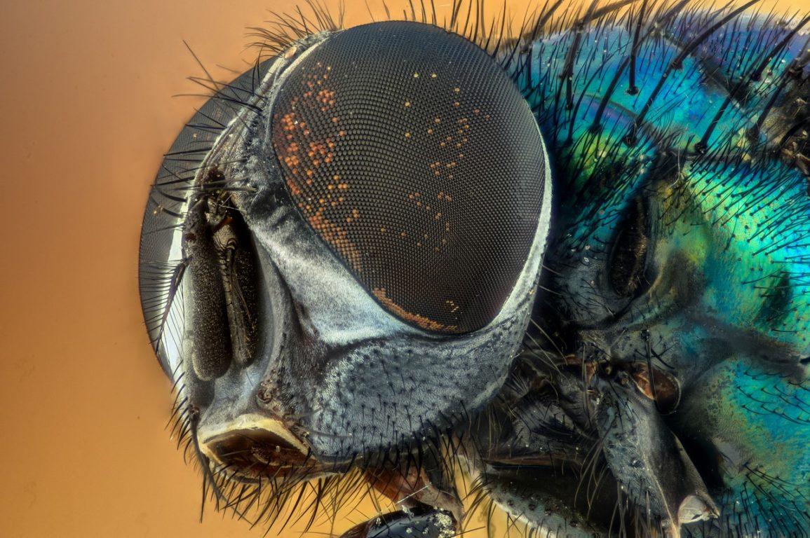 macro close up of a fly's head