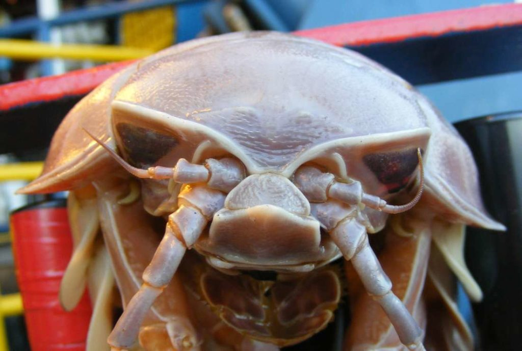 close up of a giant isopod face