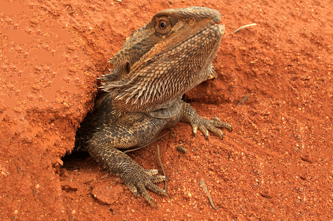 A central bearded dragon popping out of its burrow in the desert.