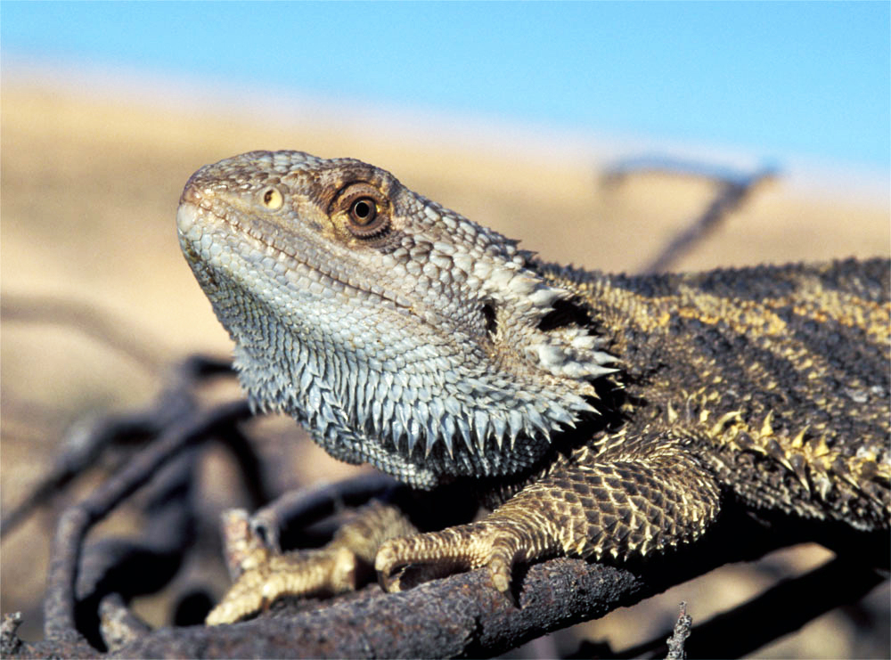 A central bearded dragon resting on a scorched log with the desert in the background