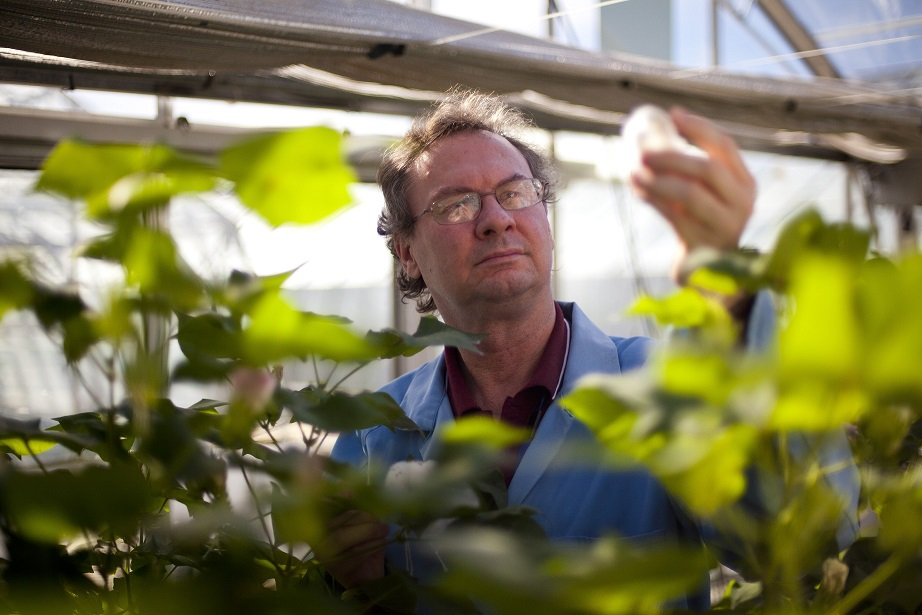 A researcher holds up a modified cotton boll in a glass house of cotton plants