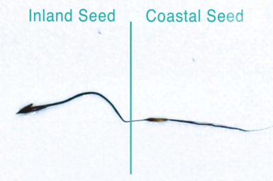 Comparing two Kangaroo Grass seeds