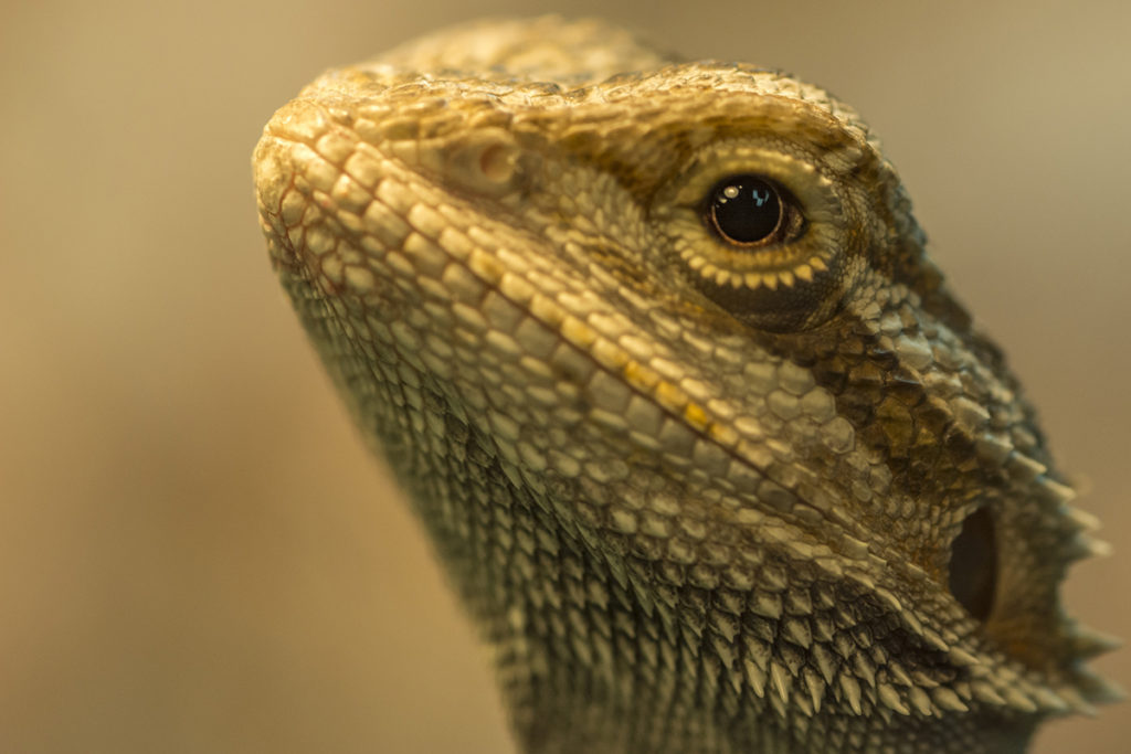 A close up of a bearded dragon's face