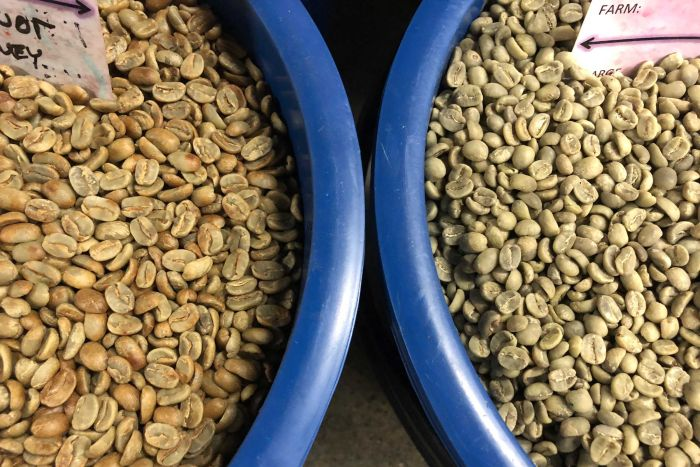 The green beans on the left were honey processed and still have a little parchment left on them. The beans on the right were washed. ABC News: Belinda Smith