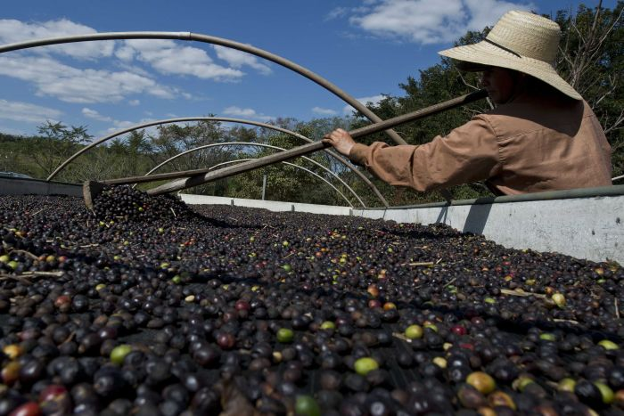 Coffee fruit drying on a raised bed are turned and stirred often to prevent over-fermentation. Getty Images: AFP/Nelson Almeida
