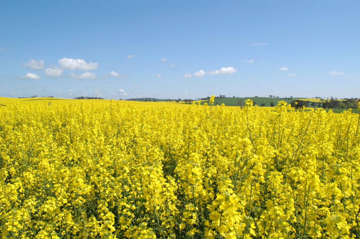 Canola crop in flower at Wallendbeen, NSW.
