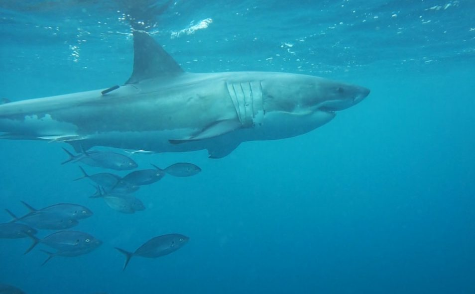 A white shark swimming with a research tag