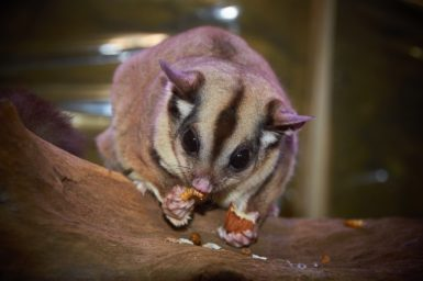 a sugar glider eating