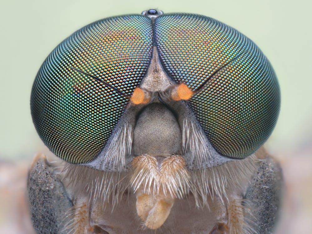 Flies have up to 6,000 mini lenses in each eye. from www.shutterstock.com