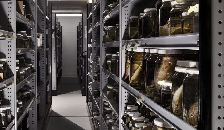 Rows of grey shelves holding glass jars containing fishes preserved in ethanol.