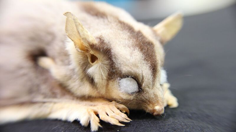 Close up of head of a taxidermied sugar glider specimen in the Australian National Wildlife Collection showing striped fur with cotton wool visible in the eye sockets.