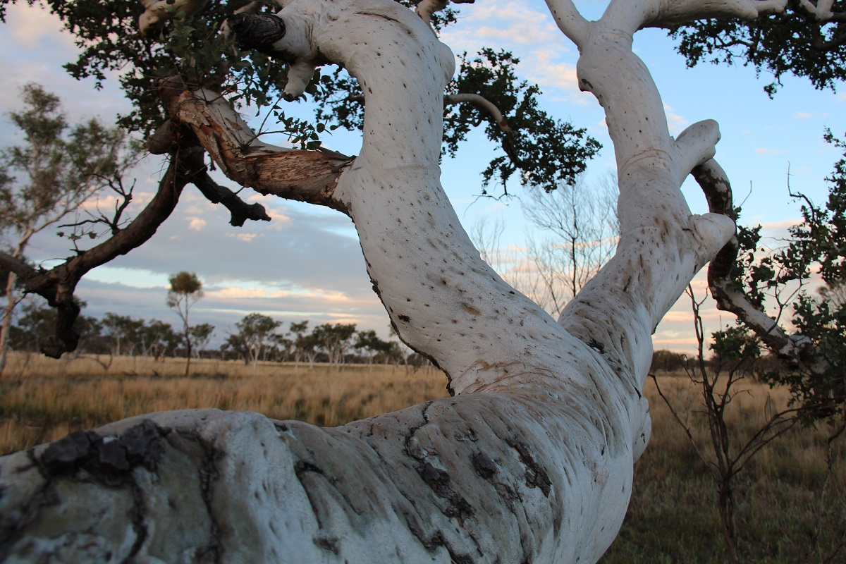 Eucalyptus: Five things you might not know about these
