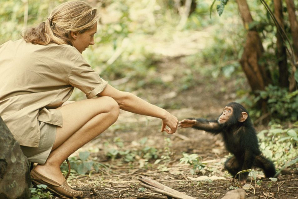 Jane Goodall touching hands with a chimp