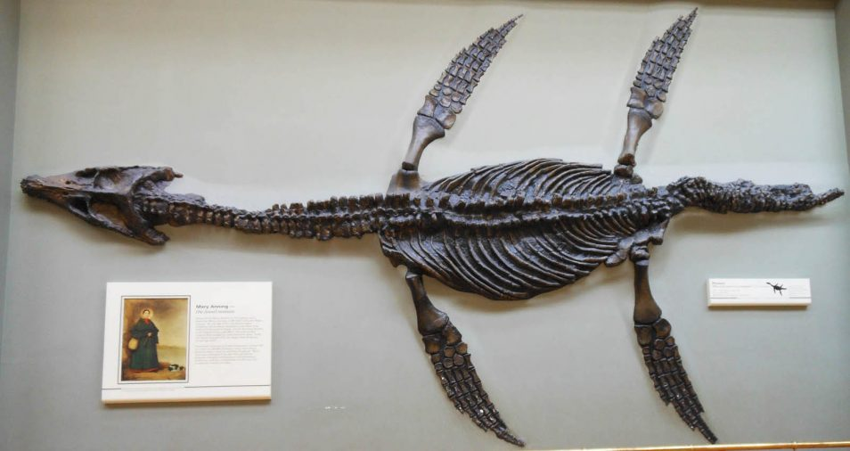 A Plesiosaurs fossil discovered by Mary Anning