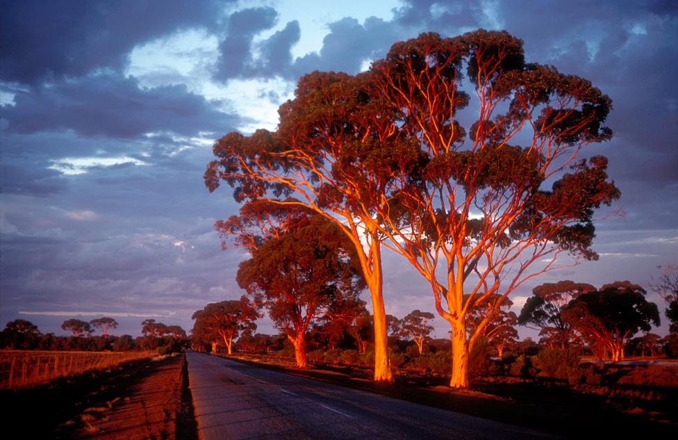 Salmon gums illuminated by the golden- red light of sunset.