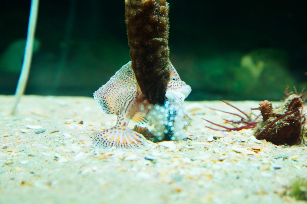 """Small eggs are laid around an upright stick-like """"asydian"""" with adult spotted handfish in the background"""