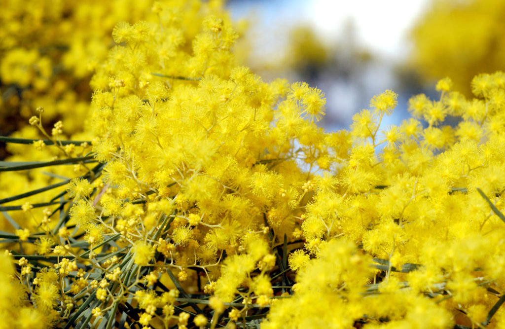 August–September or 'sprinter' is peak flowering time for one of Australia's largest plant groups, wattles (Acacia spp.). Image: Carl Davies/CSIRO.